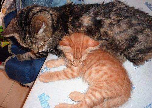 Thor et Macho, papa-chat